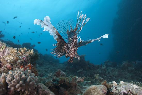 stocktrek-images-a-large-common-lionfish-swimming-at-beqa-lagoon-fiji