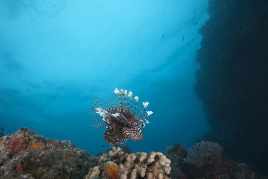 stocktrek-images-a-large-common-lionfish-swimming-at-beqa-lagoon-fiji