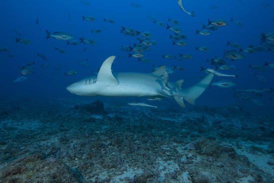 stocktrek-images-a-large-tawny-nurse-shark-on-a-deep-fijian-reef