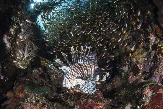 stocktrek-images-a-lionfish-hunts-for-prey-on-a-colorful-coral-reef