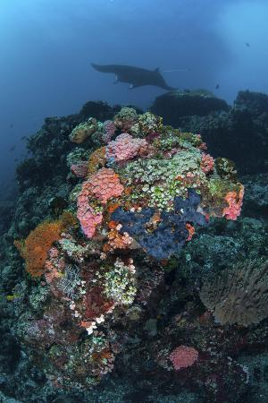 stocktrek-images-a-manta-ray-swimming-above-a-colorful-reef-in-indonesia