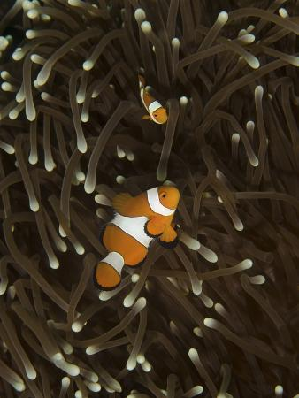 stocktrek-images-a-pair-of-anemonefish-in-its-host-anemone-manado-indonesia