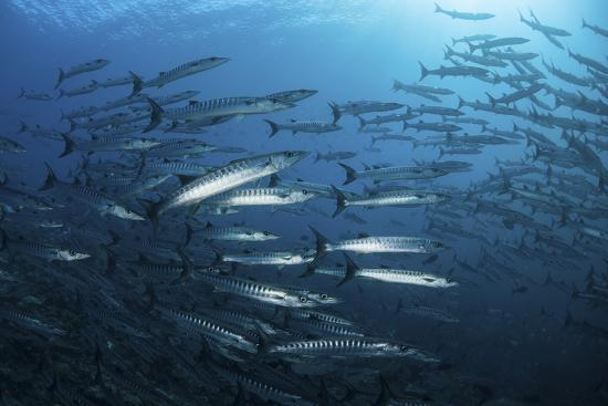 stocktrek-images-a-school-of-barracuda-above-a-coral-reef-in-the-solomon-islands
