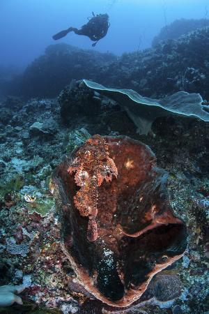 stocktrek-images-a-scorpionfish-lays-on-a-large-sponge-on-a-coral-reef