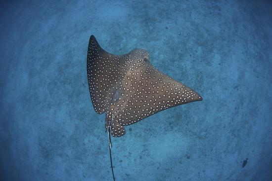 stocktrek-images-a-spotted-eagle-ray-swims-over-the-seafloor-near-cocos-island-costa-rica