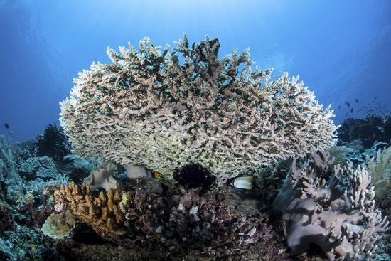 stocktrek-images-a-table-coral-grows-on-a-beautiful-reef-near-sulawesi-indonesia