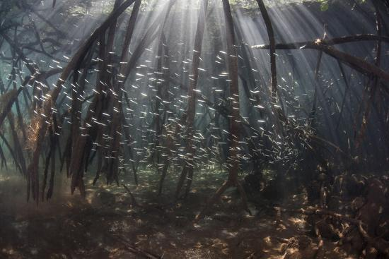 stocktrek-images-beams-of-sunlight-filter-among-the-prop-roots-of-a-mangrove-forest