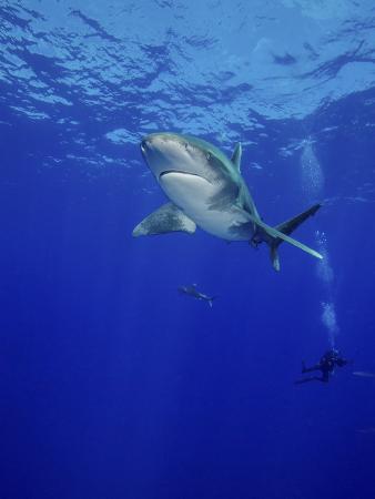 stocktrek-images-diving-with-oceanic-whitetip-sharks-cat-island-bahamas