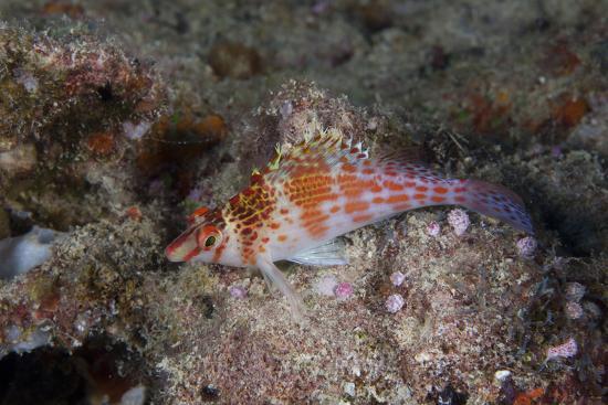 stocktrek-images-dwarf-hawkfish-fiji