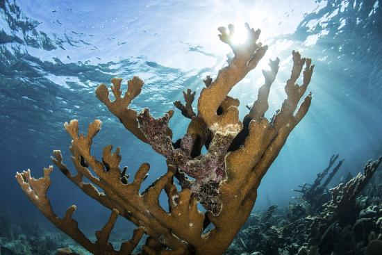 stocktrek-images-elkhorn-coral-grows-on-a-healthy-reef-in-the-caribbean-sea