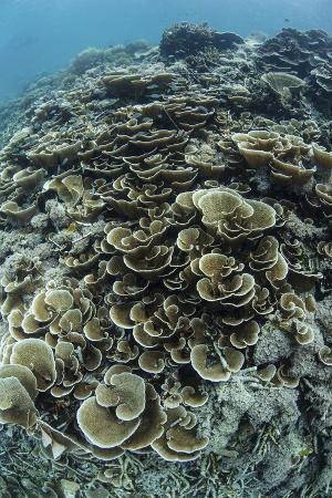 stocktrek-images-foliose-corals-grow-on-a-reef-slope-in-raja-ampat-indonesia