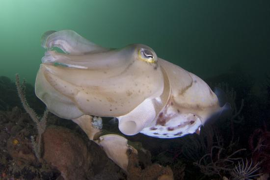 stocktrek-images-full-body-view-of-a-broadclub-cuttlefish-amongst-a-reef
