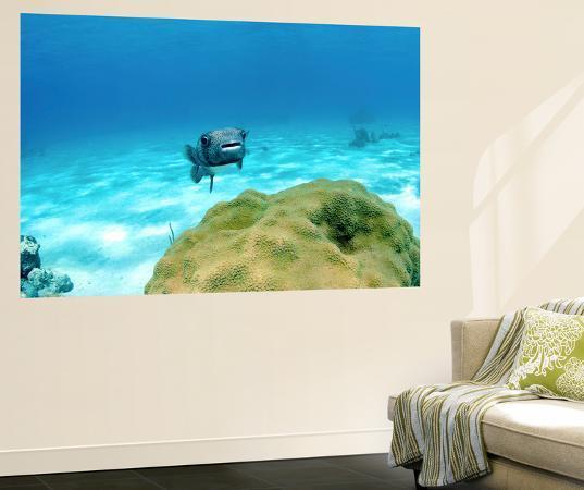stocktrek-images-pufferfish-swimming-by-star-coral-nassau-the-bahamas
