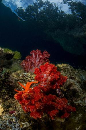 stocktrek-images-red-and-white-soft-coral-with-sea-star-on-a-rocky-reef-top-in-indonesia