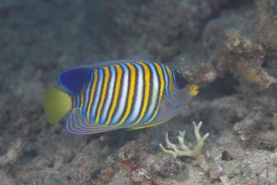 stocktrek-images-regal-angelfish-swimming-in-waters-off-of-fiji