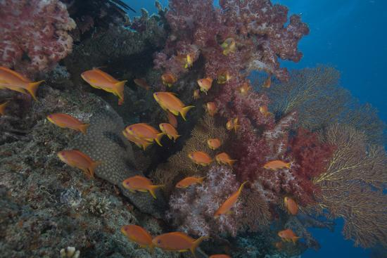 stocktrek-images-scalefin-anthias-fish-in-beqa-lagoon-fiji