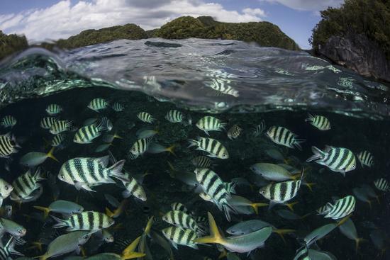 stocktrek-images-school-of-large-damselfish-in-palau-s-inner-lagoon