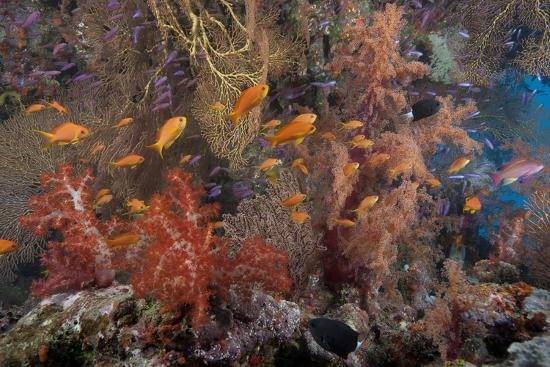 stocktrek-images-schooling-scalefin-anthias-fish-and-soft-corals-of-beqa-lagoon-fiji