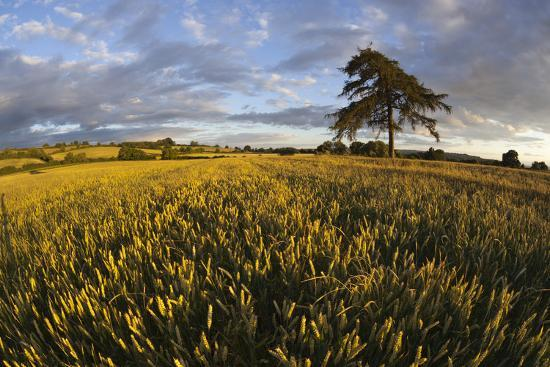 stuart-black-wheat-field-and-pine-tree-at-sunset-near-chipping-campden-cotswolds-gloucestershire-england