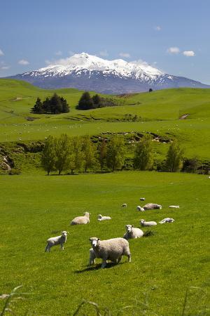 stuart-sheep-grazing-beneath-mount-ruapehu