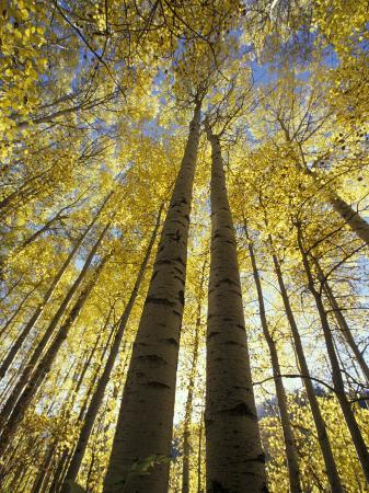 stuart-westmoreland-fall-colored-aspen-trees-stevens-pass-washington-usa