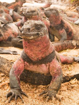 stuart-westmoreland-marine-iguanas-punta-espinosa-galapagos-islands-national-park-fernandina-island-ecuador