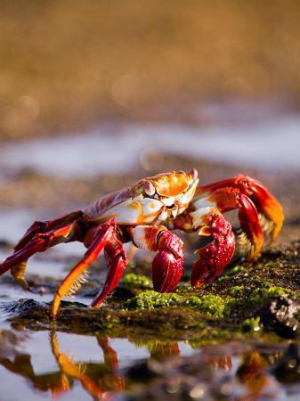 stuart-westmoreland-sally-lightfoot-crabs-puerto-egas-galapagos-islands-national-park-ecuador