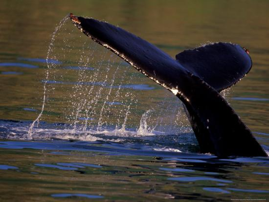 stuart-westmoreland-surfacing-humpback-whale-inside-passage-southeast-alaska-usa