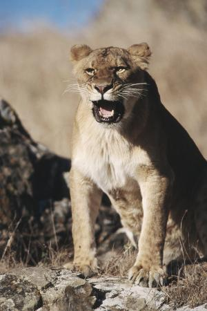 stuart-westmorland-african-lion-sitting-and-mouth-open