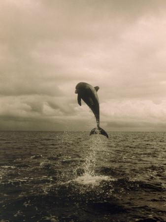 stuart-westmorland-bottlenose-dolphin-jumping-out-of-water