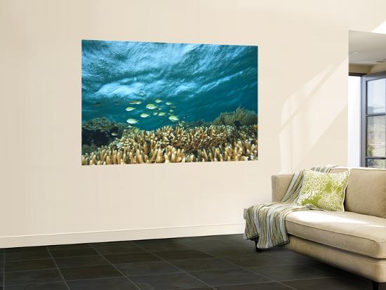 stuart-westmorland-damselfish-tukang-besi-wakatobi-archipelago-marine-preserve-south-sulawesi-indonesia