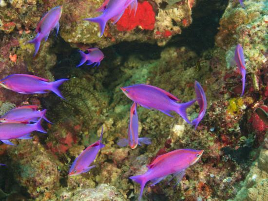 stuart-westmorland-fairy-basslets-in-milne-bay-papua-new-guinea