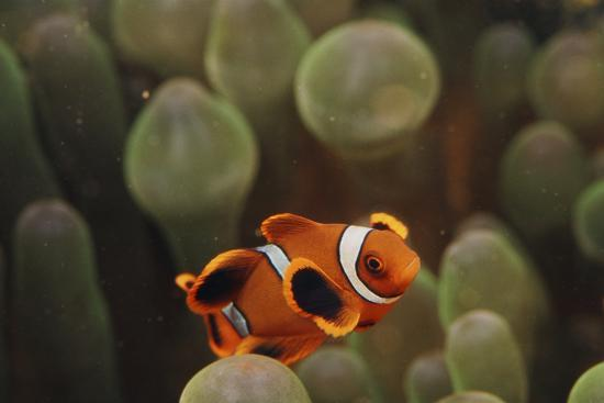 stuart-westmorland-indo-ocean-close-up-view-of-juvenile-clown-anemonefish