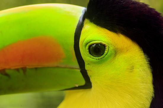 stuart-westmorland-keel-billed-toucan-belize-city-belize