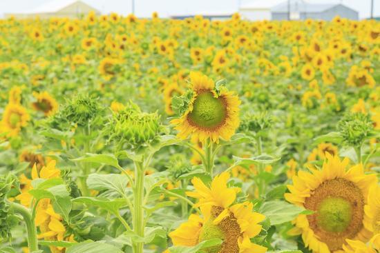 stuart-westmorland-large-field-of-sunflowers-near-moses-lake-wa-usa