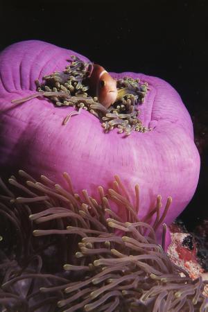 stuart-westmorland-maldives-maldives-anemonefish-amphiprion-nigripes