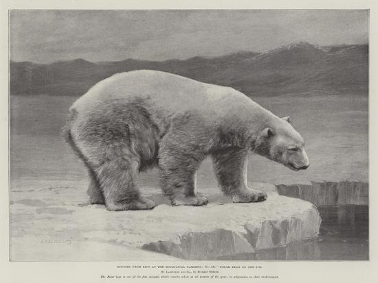 studies-from-life-at-the-zoological-gardens-polar-bear-on-the-ice