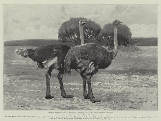 studies-from-life-at-the-zoological-gardens-south-african-ostriches