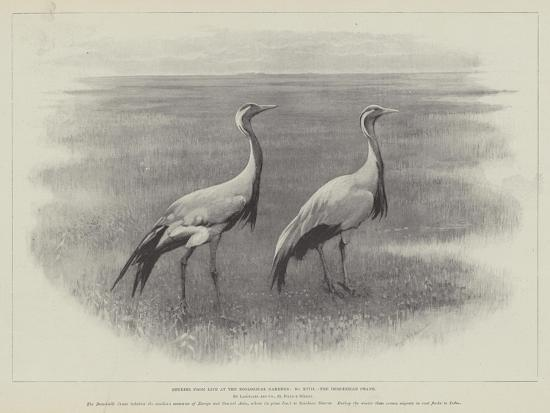 studies-from-life-at-the-zoological-gardens-the-demoiselle-crane