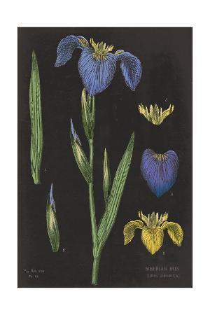sue-schlabach-iris-chart
