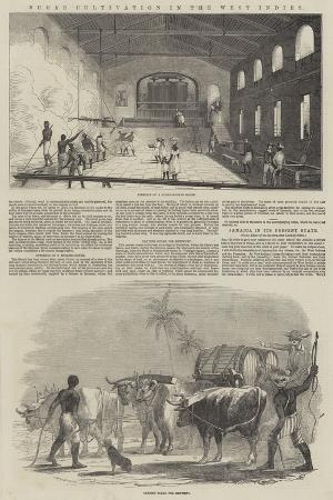 sugar-cultivation-in-the-west-indies