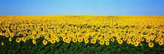 sunflower-field-north-dakota-usa