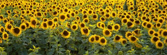 sunflowers-in-a-field-bouches-du-rhone-provence-france