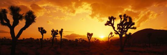 sunset-joshua-tree-park-california-usa