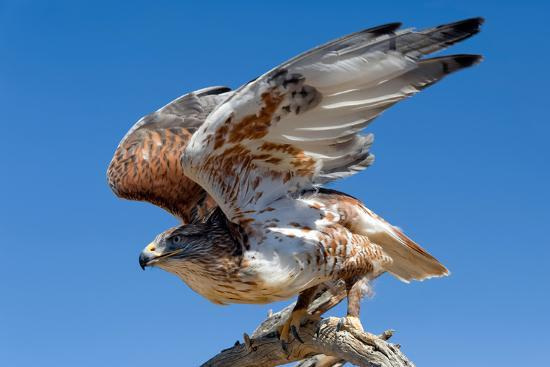 susan-degginger-ferruginous-hawk-buteo-regalis