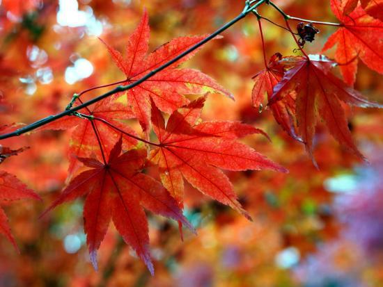 susie-mccaffrey-acer-palmatum-atropurpureum-blood-leaf-japenese-maple