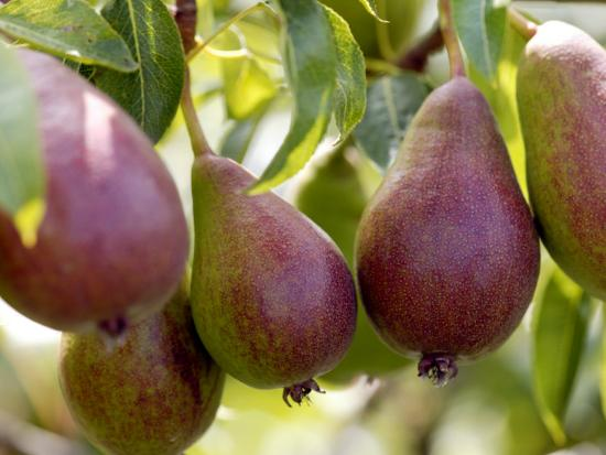 susie-mccaffrey-pear-pyrus-glou-morceau-close-up-of-purple-fruits-growing-on-the-tree