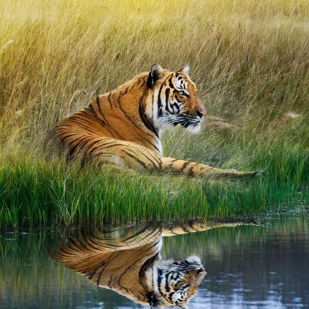 svetlana-foote-tiger-relaxing-on-grassy-bank-with-reflection-in-water