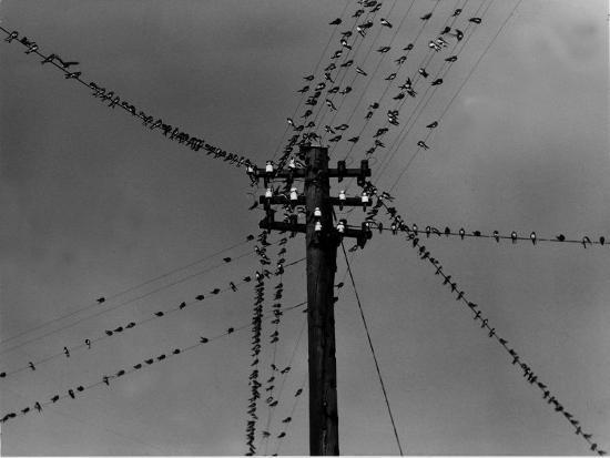 swallows-on-telegraph-pole-getting-ready-for-migration