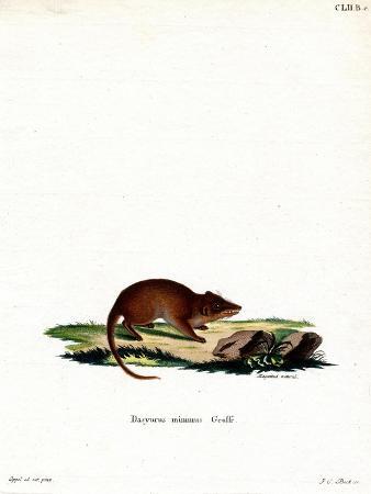 swamp-antechinus